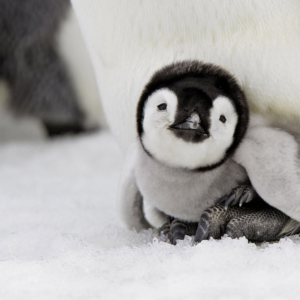 Penguin Picture - Cute Baby Penguin