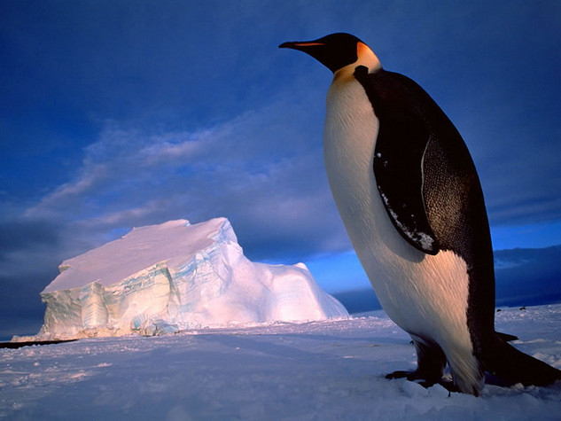 Penguin Picture - Large Penguin
