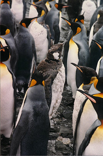 Penguin Picture - Molting King Penguin