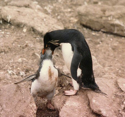 Penguin Picture - Penguin Feeding