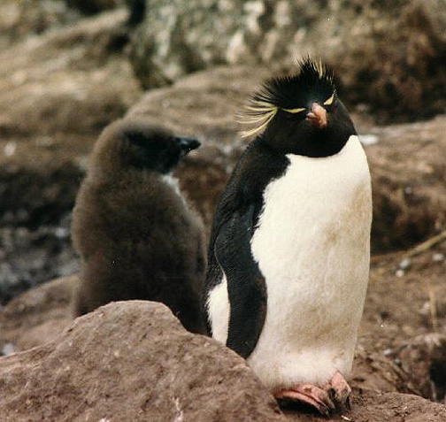 Penguin Picture - Young Rockhopper
